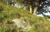 6: Stor flad sten i højsiden. Måske dække for en urnegrav.
