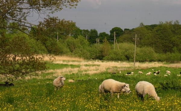 4: Afgræsning med får i ådalen ved Broskov.