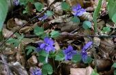 7: Blå viol - en af mange smukke og kalk-krævende planter som gror på køkkenmøddingen.