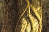 Krattet omkring skansen er eventyrligt. Vedbend snor sig omkring træstammerne og giver en helt speciel stemning.