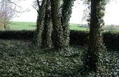 Stemningsfulde træer med slyngede vedbend præger nu kirkegården.
