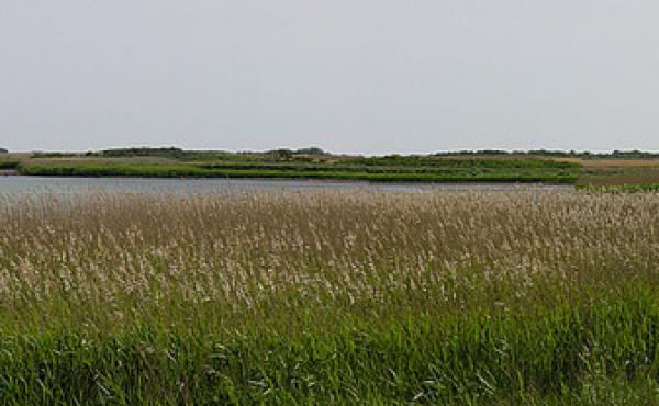 Store frodig og meget fuglerige strandenge og rørskove omgiver Ulvshale. Her fra området øst for skansen.