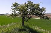 7: Et ensomt træ på toppen af højen markerer stedet. Her med udsigten mod vest.