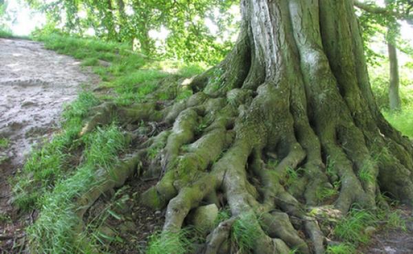 Et malerisk gammelt løvtræ på højtoppen over jættestuen.